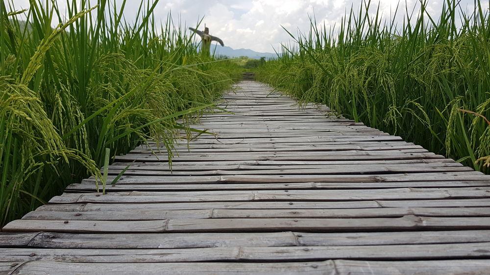 Campo de Arroz - Norte de Tailandia