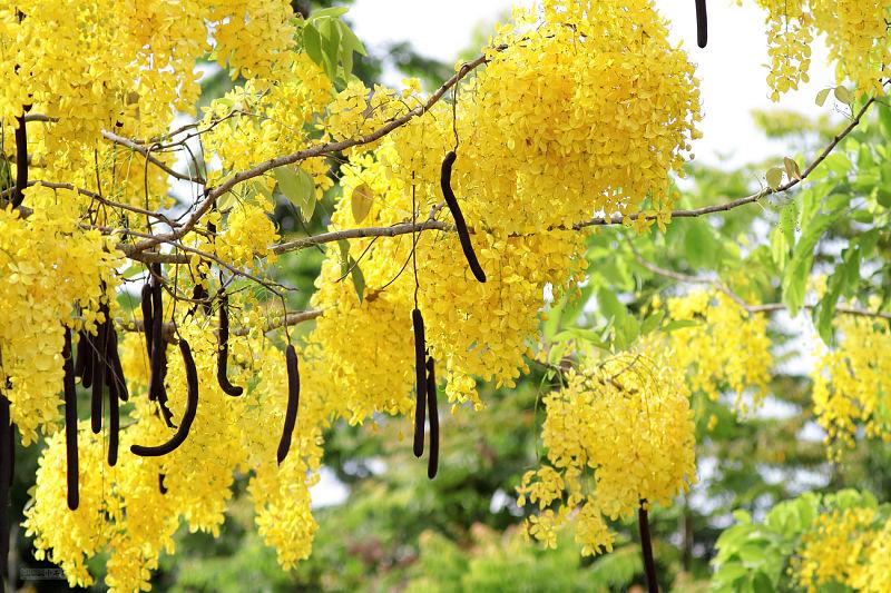 Mercado de las flores de Bangkok - Cassia fistula
