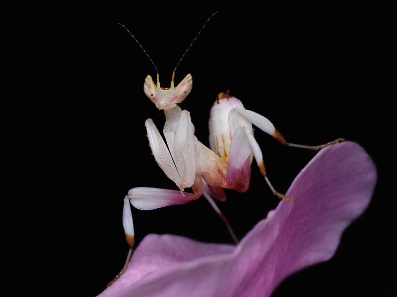 Mercado de las flores de Bangkok - Mantis Religiosa