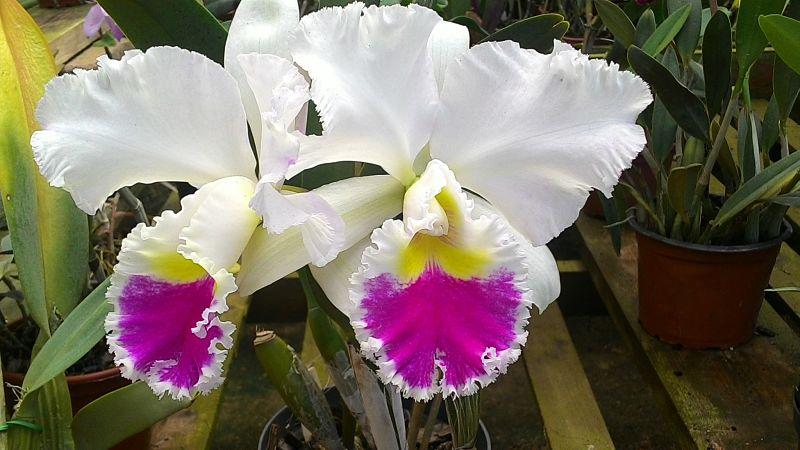 Mercado de las flores de Bangkok - Orquídeas