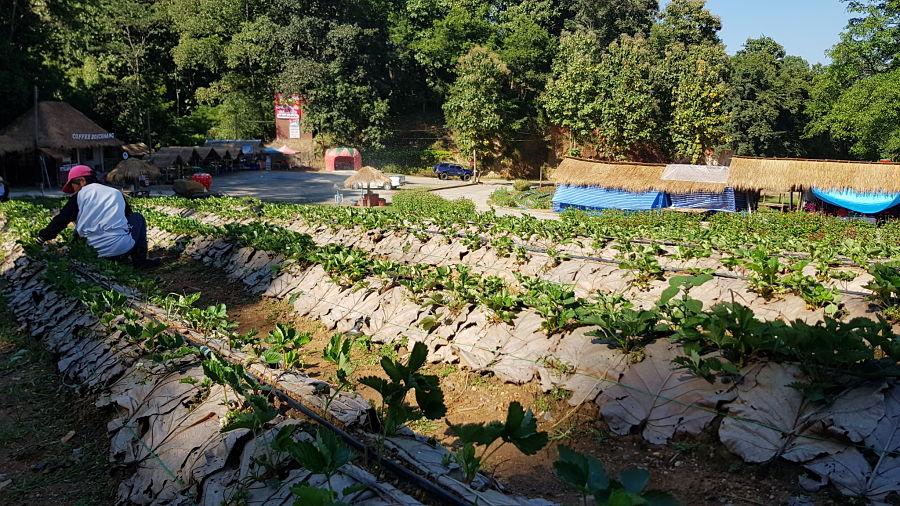 Cultivo de Fresas en Mae Sa Waterfall