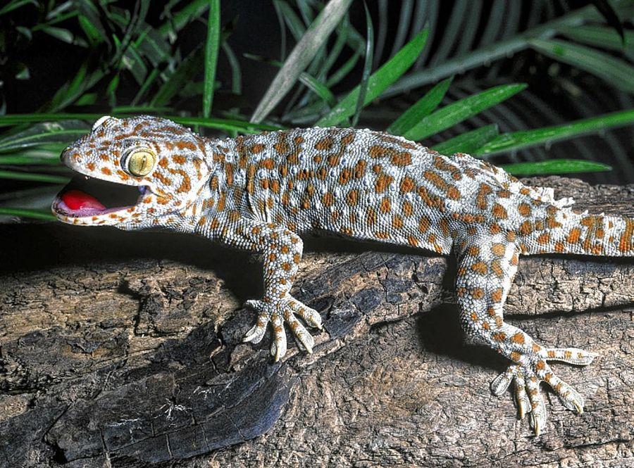 Gecko en el Parque Nacional Erawan