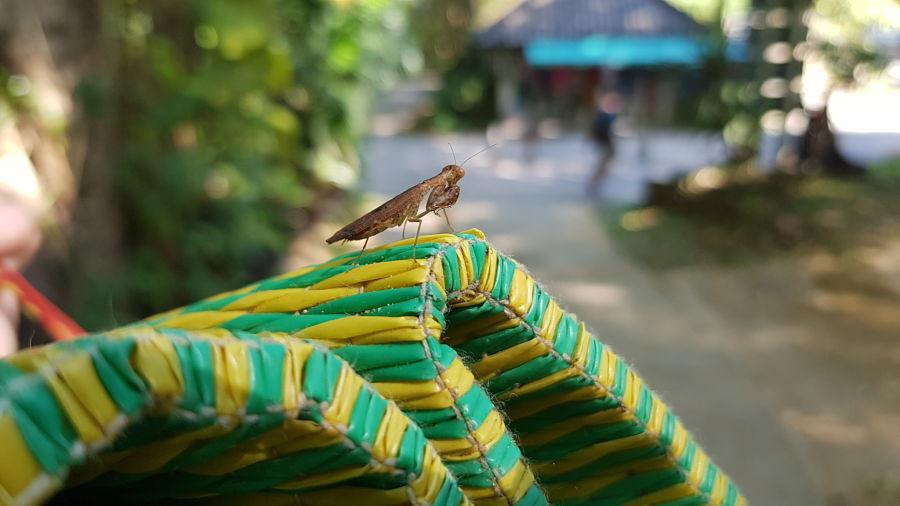 Mantis Religiosa en Mae Sa Waterfall