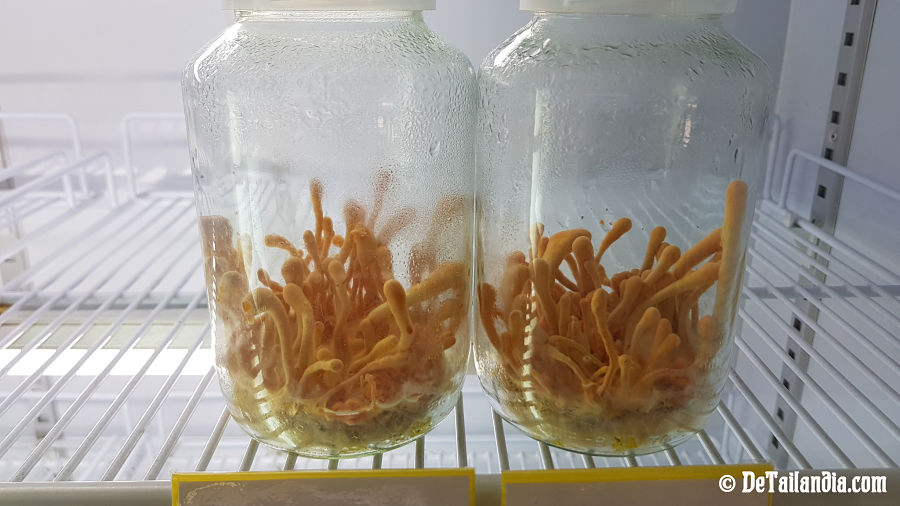 Cultivo de té de hongos en Singha Park