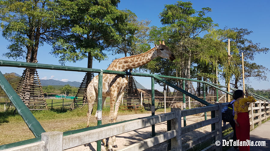 Jirafa del parque Singha Park - Chiang Rai
