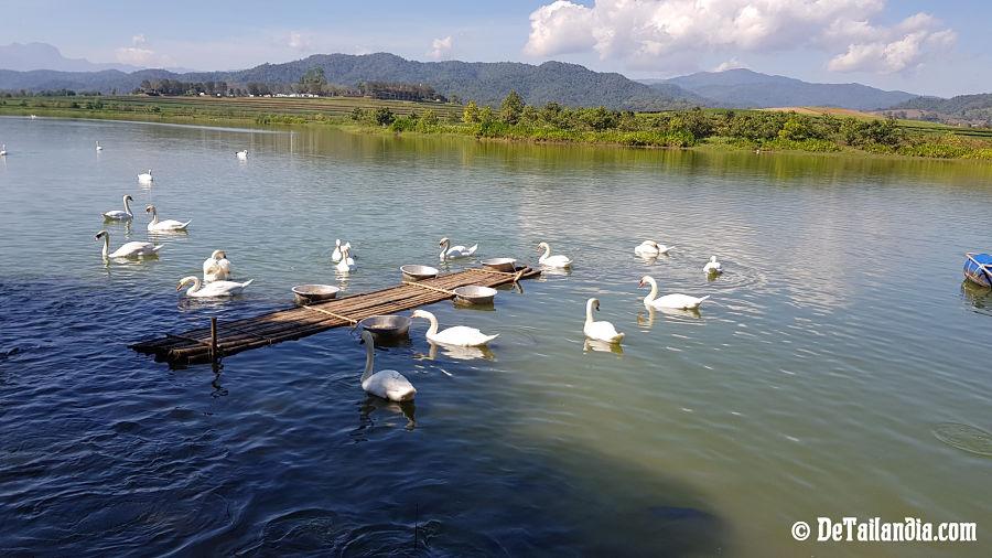 Lago con cisnes el parque Singha Park de Chiang Rai